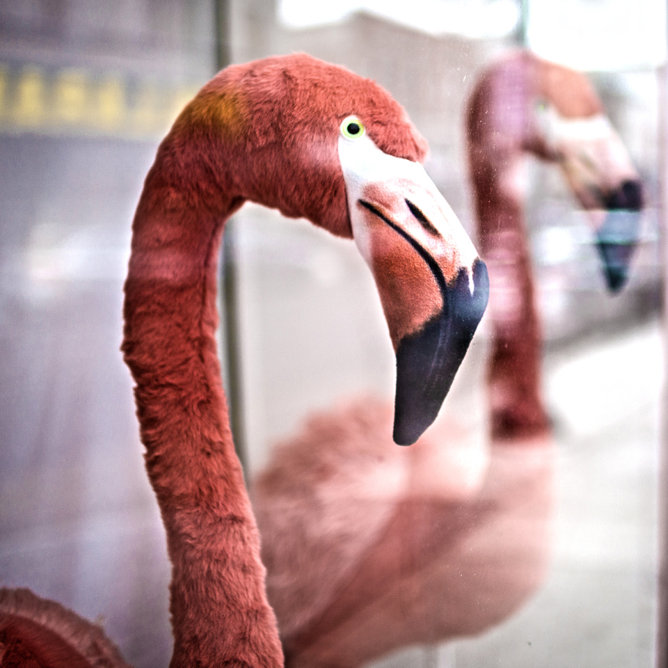 Kingstonflamingo